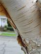 Pealy bark