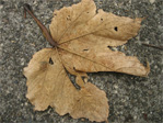 Dead leaf on ground
