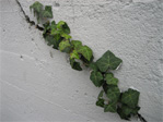Ivy in wall